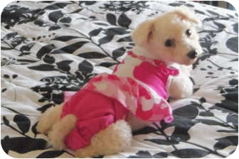 Bichon Frise Dog for adoption in Bridgeton, Missouri - Vanna