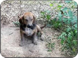 Beagle/Dachshund Mix Dog for adoption in McArthur, Ohio - PEPPER