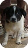 Border Collie Mix Puppy for adoption in Foster, Rhode Island - Bessie