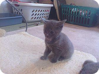 Domestic Shorthair Kitten for adoption in Mount Gilead, Ohio - Keisha-Call Lisa 419-560-0591