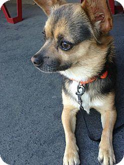 Chihuahua/Corgi Mix Dog for adoption in Woodland Hills, California - Darla
