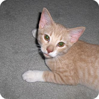 Domestic Shorthair Cat for adoption in Richmond, Virginia - TY