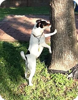 Jack Russell Terrier Mix Dog for adoption in Austin, Texas - Domino in Houston