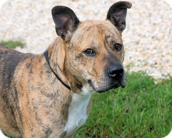 American Staffordshire Terrier Mix Dog for adoption in Manahawkin, New Jersey - Quest