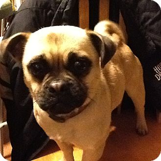Pug/Beagle Mix Puppy for adoption in Clarksville, Tennessee - Macie