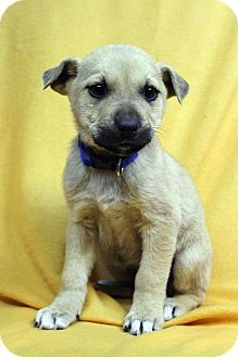 Australian Shepherd/Shepherd (Unknown Type) Mix Puppy for adoption in Westminster, Colorado - Amy