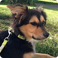 Adopt A Pet :: *Pixie - PENDING - Westport, CT