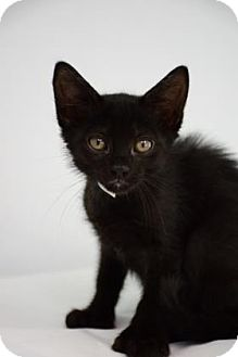 Domestic Mediumhair Kitten for adoption in Bradenton, Florida - Romano