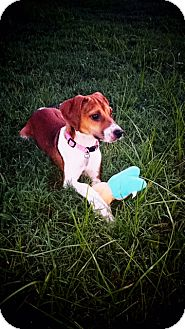 Beagle Mix Puppy for adoption in Redding, Connecticut - Pixie