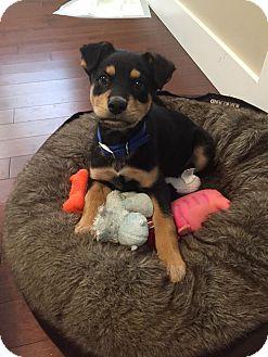 Shepherd (Unknown Type) Mix Puppy for adoption in Edmonton, Alberta - Brody