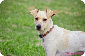 Manchester Terrier/Australian Cattle Dog Mix Dog for adoption in Seguin, Texas - Blanco