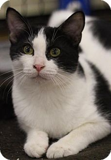 Domestic Shorthair Cat for adoption in Sacramento, California - Pineapple