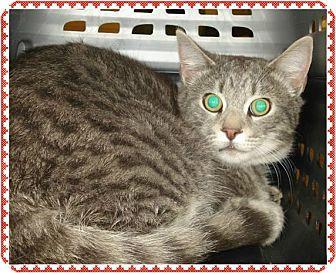 Domestic Shorthair Cat for adoption in Marietta, Georgia - FRANK (R)