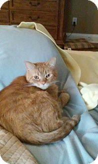 Domestic Shorthair Cat for adoption in Gainesville, Virginia - Camden