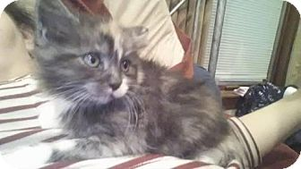 Domestic Longhair Kitten for adoption in Rathdrum, Idaho - Star