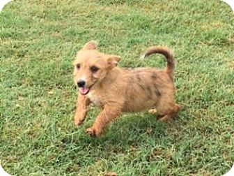 Terrier (Unknown Type, Small) Mix Puppy for adoption in Redmond, Washington - Lennon