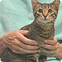 Adopt A Pet :: Rigatoni - Reston, VA