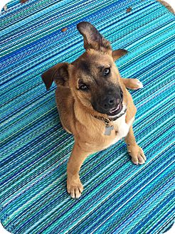 Black Mouth Cur/German Shepherd Dog Mix Puppy for adoption in Austin, Texas - Toby