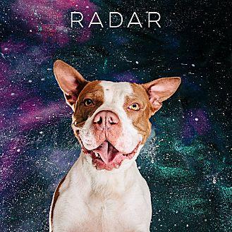 American Staffordshire Terrier/Basset Hound Mix Dog for adoption in Houston, Texas - Radar