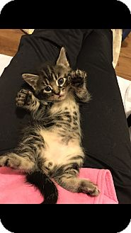 Domestic Shorthair Kitten for adoption in Des Moines, Iowa - Groot