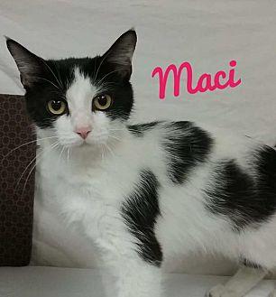 Domestic Mediumhair Cat for adoption in Kendallville, Indiana - Maci