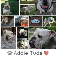 Adopt A Pet :: Addie Tude - Everett, WA