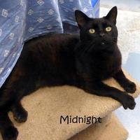 Adopt A Pet :: Midnight - Kansas City, MO
