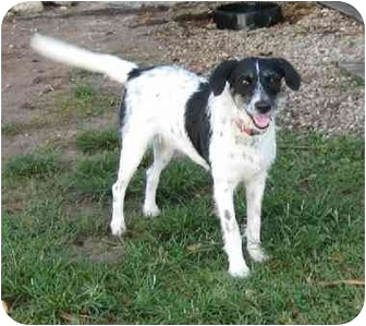 Pointer/German Wirehaired Pointer Mix Dog for adoption in Homestead, Florida - Oreo