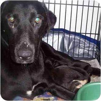 Labrador Retriever/Terrier (Unknown Type, Small) Mix Puppy for adoption in Garden city, Utah - Puppies Lab
