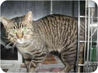 """Domestic Shorthair Cat for adoption in MARION, Virginia - """"Odie"""""""