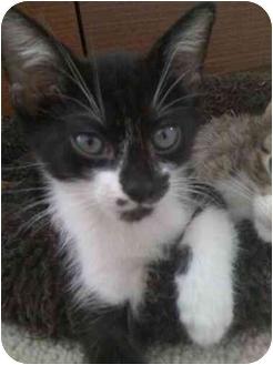 Domestic Shorthair Kitten for adoption in Houston, Texas - Kayle