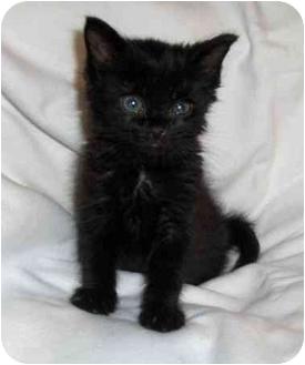 Domestic Shorthair Kitten for adoption in Richmond, Virginia - Toby