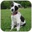 Photo 3 - Labrador Retriever/Australian Shepherd Mix Puppy for adoption in Windham, New Hampshire - Pebbles