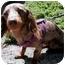 Photo 3 - Dachshund Mix Dog for adoption in Phoenix, Oregon - Kramer