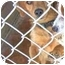 Photo 2 - Dachshund/Wirehaired Fox Terrier Mix Dog for adoption in Baltimore, Maryland - Doogie