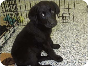 Lab Shepherd Mix Puppies Adopted Puppy Washington Pa