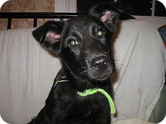 German Shepherd Dog/Labrador Retriever Mix Puppy for adoption in Greeneville, Tennessee - Capri