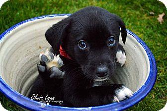 Hound (Unknown Type)/Labrador Retriever Mix Puppy for adoption in Raleigh, North Carolina - Tucker