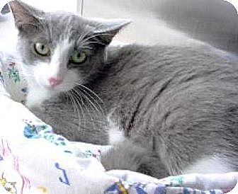 Domestic Shorthair Cat for adoption in Miami, Florida - Aristocat