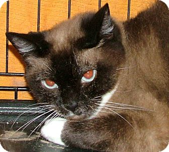 Snowshoe Cat for adoption in Chattanooga, Tennessee - Girly