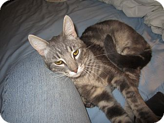 Domestic Shorthair Cat for adoption in Tracy, California - Jeremy-ADOPTED!