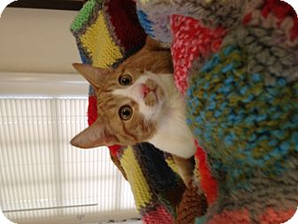 Domestic Shorthair Kitten for adoption in Homewood, Alabama - Holly