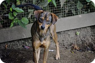 Miniature Pinscher/Terrier (Unknown Type, Small) Mix Dog for adoption in Rochester, Minnesota - Foxy
