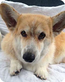 Pembroke Welsh Corgi Dog for adoption in Lomita, California - Tessa