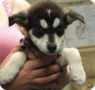 Husky/Shepherd (Unknown Type) Mix Puppy for adoption in Chicago, Illinois - Grizzly(PENDING!)