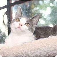 Domestic Shorthair Kitten for adoption in Winston-Salem, North Carolina - Sissy