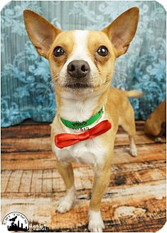 Chihuahua/Terrier (Unknown Type, Small) Mix Dog for adoption in Phoenix, Arizona - Hamlet