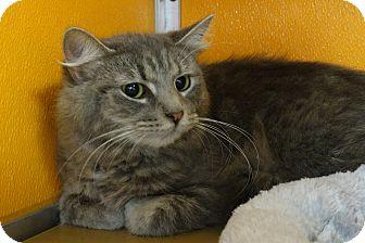 Domestic Mediumhair Cat for adoption in Elyria, Ohio - Cameo