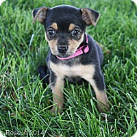 Adopt A Pet :: Veronica - Broomfield, CO