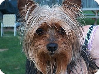Yorkie, Yorkshire Terrier Puppy for adoption in Lorain, Ohio - Shane